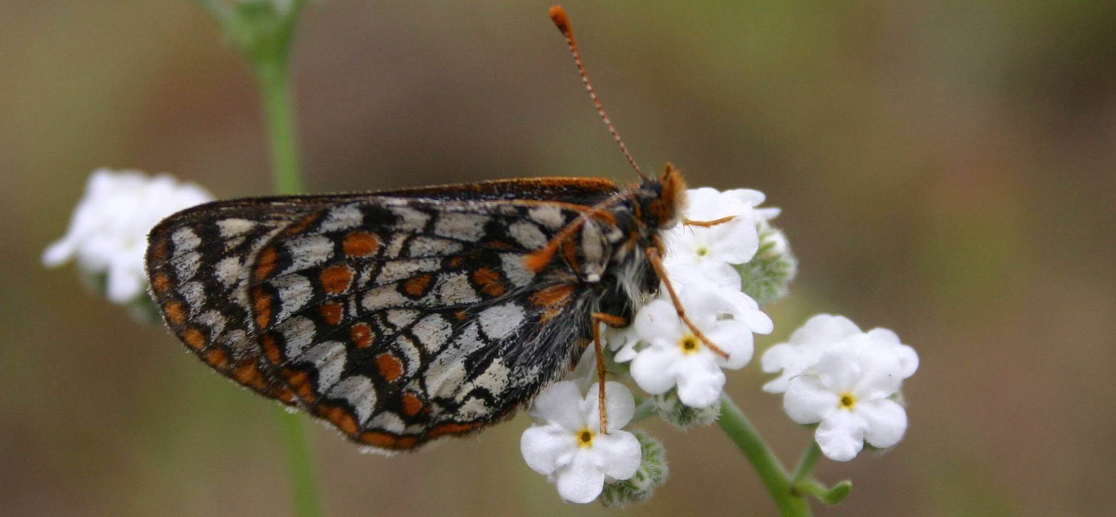 Bay Area checkerspot butterfly at Kirby Canyon, CA